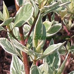 Cornus alba 'Sibirica'_Сибирски пъстролистен дрян_Variegata_Cornaceae