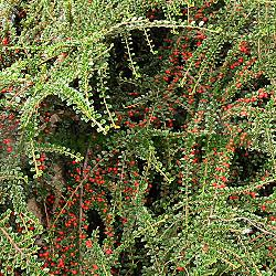 Cotoneaster horizontalis_Котонеастър хоризонтален__Rozaceae