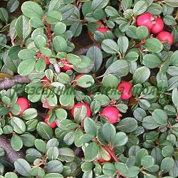 Cotoneaster microphylla_Дребнолистен котонеастър__Rosaceae