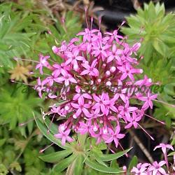 Crucianella stylosa, Phuоpsis stylosa_Круцианела, Фуопсис__Rubiaceae