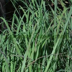 Cymbopogon flexuosus_Лимонова трева, Източноиндийска лимонова трева__Poaceae