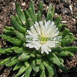 Delosperma sp. - сорт Jewel of desert MOONSTONE (Делосперма), Aizoaceae