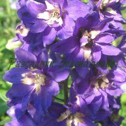 Delphinium hybridum - сорт Delfinium Magic Fountain 'BLUE DARK WHITE BEE' (Ралица, Делфиниум), Ranunculaceae