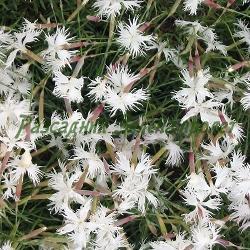 Dianthus arenarius_Пясъчен карамфил_Nanus_Caprifoliaceae