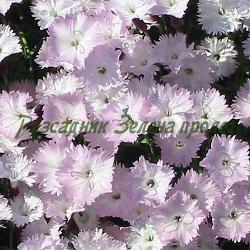 Dianthus monspessulanus_Карамфил__Caryophyllaceae