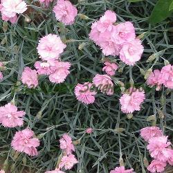 Dianthus plumarius_Бордюрен карамфил_Pike's Pink_Cariophylaceae