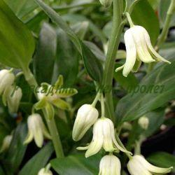 Disporopsis pernyi_Диспоропсис__Asparagaceae