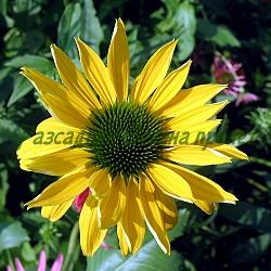 Echinacea  - сорт Golden Skipper (Ехинацея), Compositae, Asteraceae
