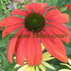 Echinacea - сорт RED PEARL (Ехинацея), Compositae, Asteraceae