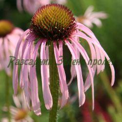 Echinacea  - сорт Echinacea pallida (Ехинацея), Compositae, Asteraceae
