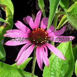 Echinacea - видове и сортове (Ехинацея) - сем. Compositae