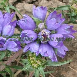 Edraianthus (Hedraeanthus, Wahlenbergia)  graminifolius  - сорт Основен вид (Едрайантус житолистен), Campanulaceae