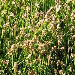 Eleocharis acicularis_Елеохарис игловиден, Блатница __Cyperaceae