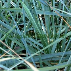 Elymus arenarius, Leymus arenarius _Пясъчен елимус, Леймус, Лаймска трева__Poaceae