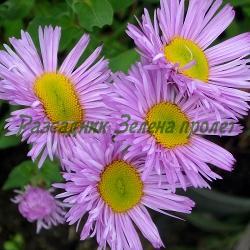 Erigeron speciosus - сорт Pink Jewel (Еригерон, злолетница), Compositae, Asteraceae