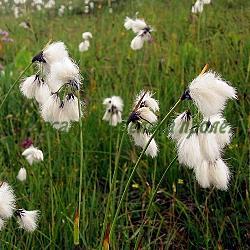 Eriophorum angustifolium_Ериофорум, Пушица__Cyperaceae