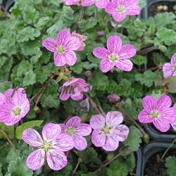 Erodium X variabile_Еродиум, часовниче_Bishop's Form_Geraniaceae