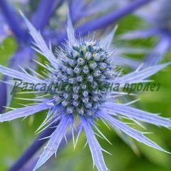 Eryngium - видове и сортове (Ветрогон, ерингиум) - сем. Apiaceae