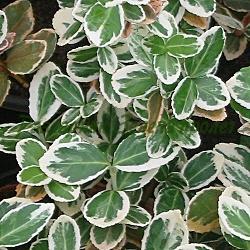 Euonymus sp. - сортове (Евонимус ) - сем. Celastraceae