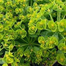 Euphorbia myrsinites_Мирзинитска млечка__Euphorbiaceae