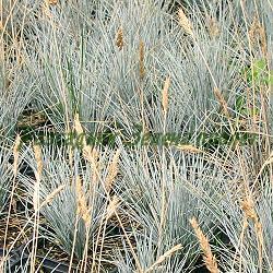 Festuca glauca_Синя власатка_Glauca_Poaceae