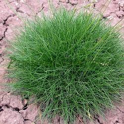 Festuca scoparia, F.gautieri_Зелена власатка__Poaceae
