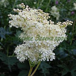 Filipendula ulmaria_Блатен тъжник, Филипендула, Брястолистно орехче__Rosaceae
