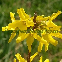 Forsythia X intermedia_Форзиция__Oleaceae