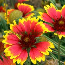Gaillardia Х hybrida_Гайлардия_BIJOU (двуцветна), ARIZONA RED (червена), ARIZONA APRICOT_Compositae