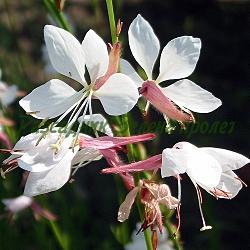 Gaura lindheimeri - сорт The Bride (Гаура), Onagraceae