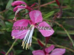 Gaura lindheimeri - сорт Sunset Dreams (Гаура - розовоцъфтяща), Onagraceae