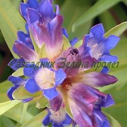 Gentiana dahurica_Генциана, Tинтява даурска__Gentianaceae