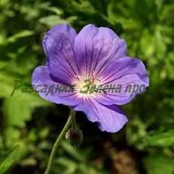Geranium X hybridum_Син здравец_Johnson's Blue_Geraniaceae