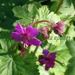 Geranium macrorrhyzum_Здравец миризлив_ОСНОВЕН ВИД; сорт ALBA (3лв.)_Geraniaceae