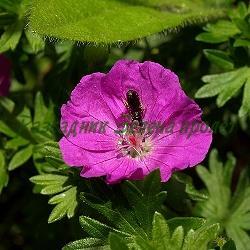 Geranium sanguineum 'MAX FREI'_Кървавочервен здравец_Max Frei_Geraniaceae