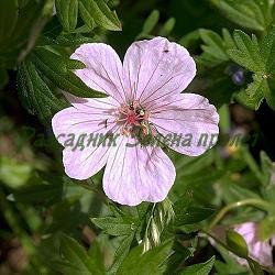 Geranium sanguineum 'Vision' (Striatum)_Кървавочервен здравец_Vision ('Striatum')_Geraniaceae
