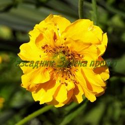 Geum chiloense - сорт Gold Ball (Омайниче чилийско), Rosaceae