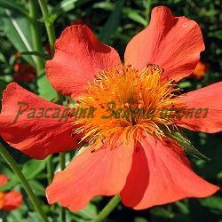Geum coccineum_Червено омайниче__Rosaceae