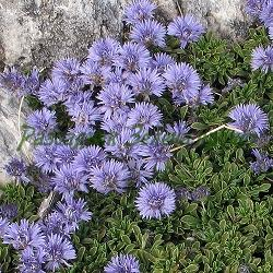 Globularia cordifolia_Глобулария, Гологлавче__Globulariaceae