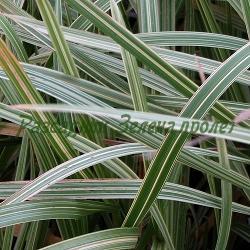 Glyceria maxima_Пъстролистна глицерия, Росица_Variegata_Poaceae