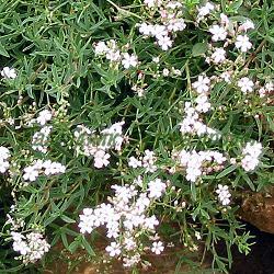 Gypsophila repens_Стелеща гипсофила, Мишорка_Rosea_Caryophyllaceae
