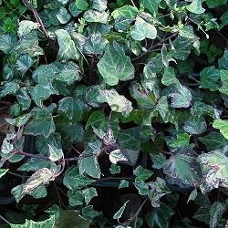 Hedera helix - сорт Variegata (Обикновен бръшлян), Araliaceae
