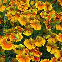 Helenium autumnale_Есенен хелениум_''SALSA' - височина 50 см; 'HELENA RED SHADES' - височина 120 см_Compositae