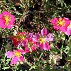 Helianthemum nummularium_Хелиантемум, Желтак__Cistaceae