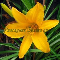 Hemerocallis  - сорт Stella D'oro (Хемерокалис), Liliaceae