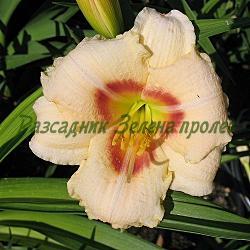 Hemerocallis - сорт Siloam Virginia Henson (Хемерокалис), Liliaceae