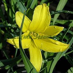 Hemerocallis - сорт Hemerocallis minor (Хемерокалис), Liliaceae