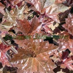 Heuchera - сортове (Хойхера, Хеухера) - сем. Saxifragaceae