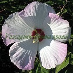Hibiscus moscheutos, Hibiscus moschatus_Блатен хибискус, блатна ружа_сорт GALAXY - MIX (120 см); сорт DISCO BELLE - MIX (60 см)_Malvaceae