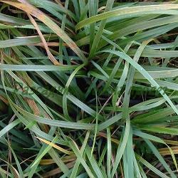 Hierochloe odorata_Ванилова трева, Хиерохлое, Зубровка__Poaceae